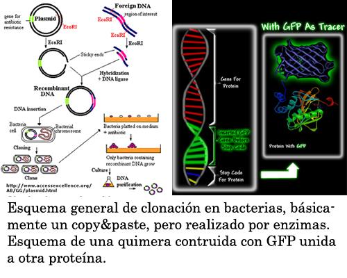 Clonacion de proteinas en bacterias y esquema deGFP