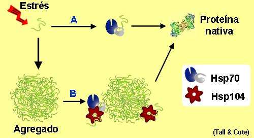Esquema de Hsp104 y Hsp70 solubilizando un agregado