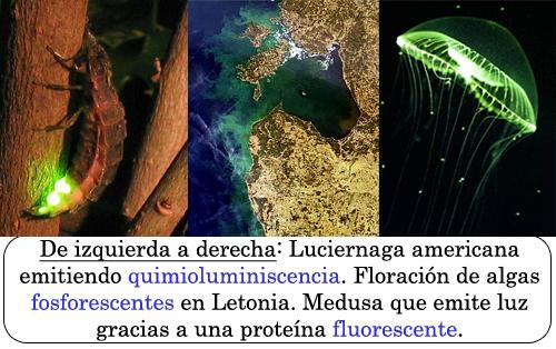 Luciérnaga americana (American Firefly), Algas fosforescentes y medusa que emite luyz gracias a una prote�<p><p><p>na fluorescente (GFP)
