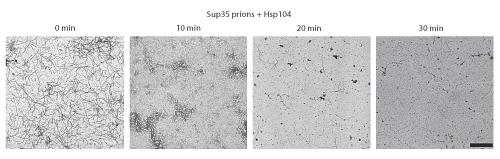 Proteinas prionicas desagregadas por Hsp104 (by J.Shorter)