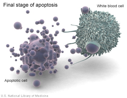 Macrofago devorando una celula apoptotica