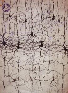 neuronas-ramon-y-cajal