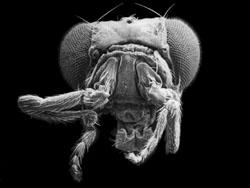 Drosophila con la mutación antenapedia que se caracteriza por la aparición de patas en el lugar de las anten